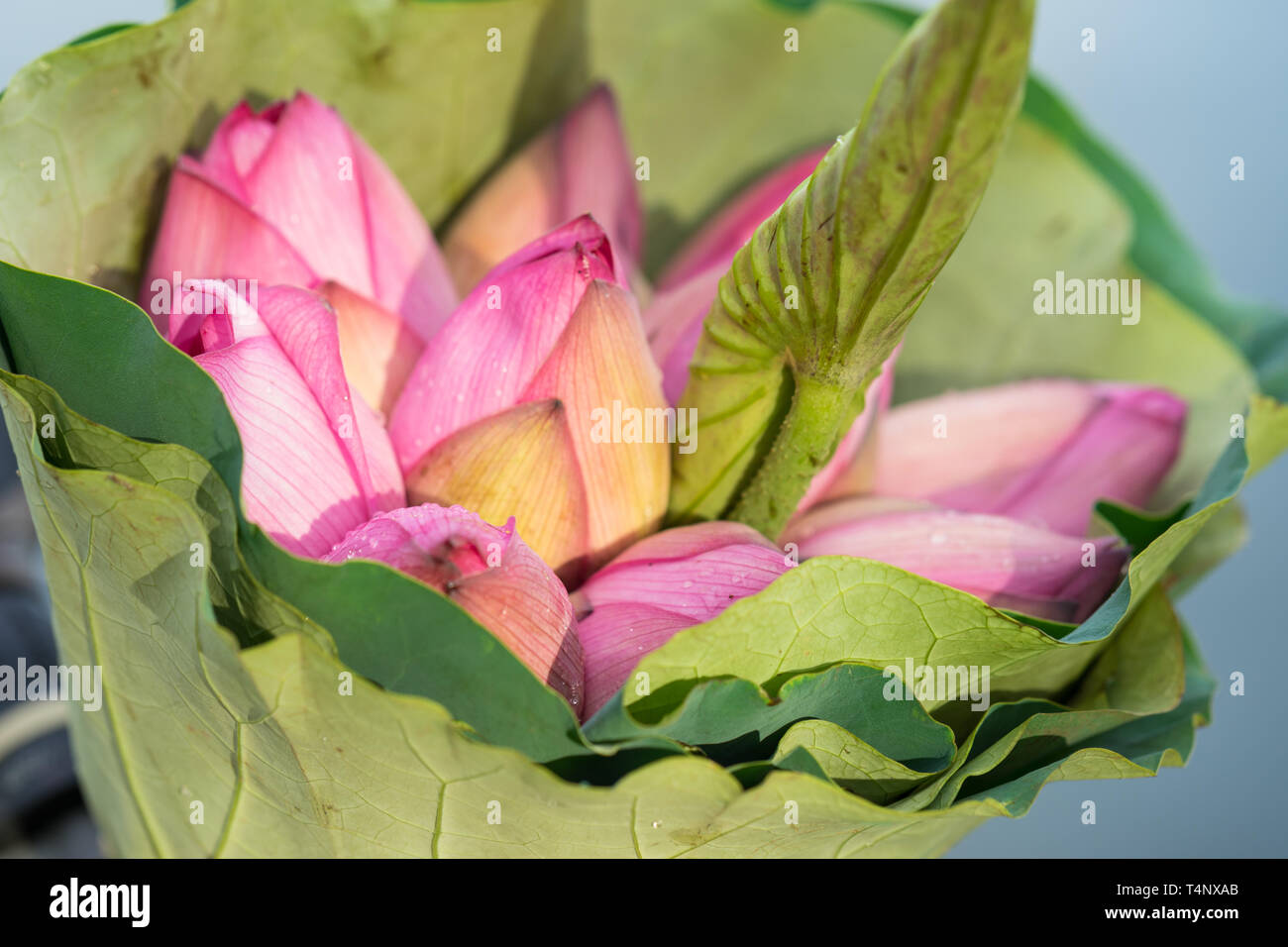 Pink Lotus Flowers Bouquet Made Of Lotus Leaves Stock Photo