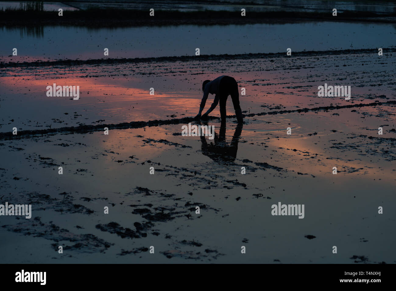 Cultivation field with Asian woman working at late evening. Concept of poor working condition and difficult living in developing countries Stock Photo