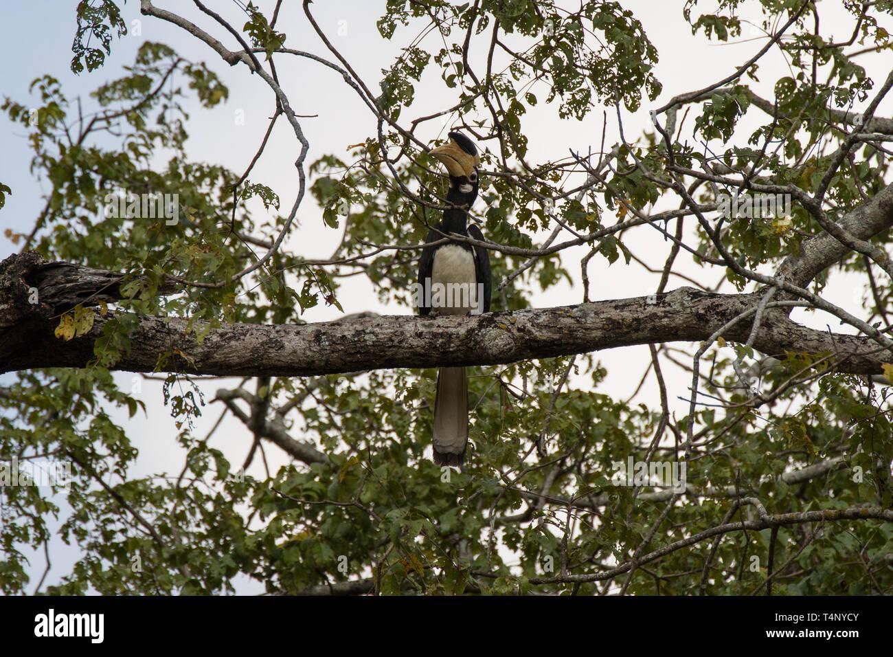 Malabar Pied Hornbill, Anthracoceros coronatus, A near threatened species. Sri Lanka - Stock Image