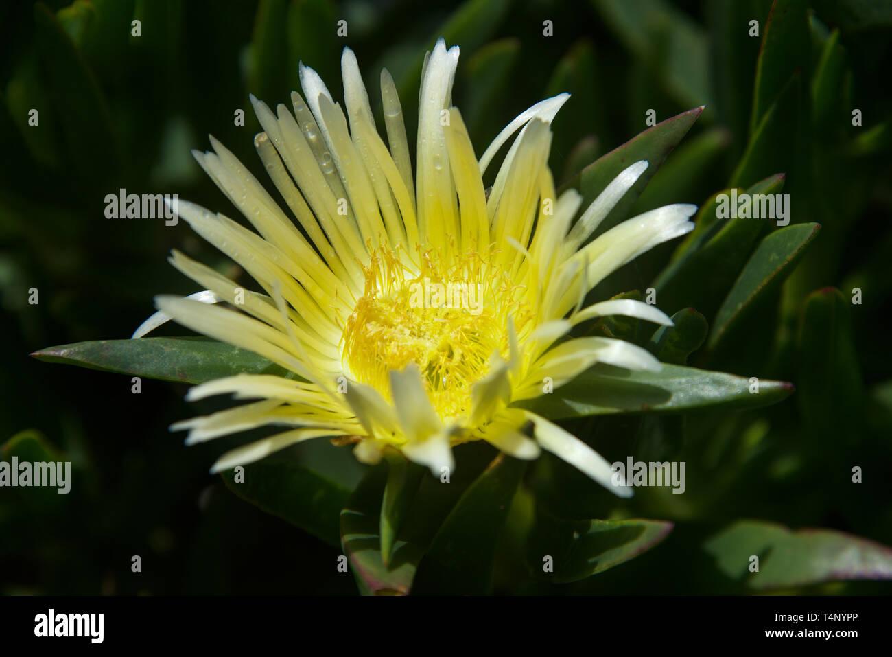 Aesthetic flower in California - Stock Image