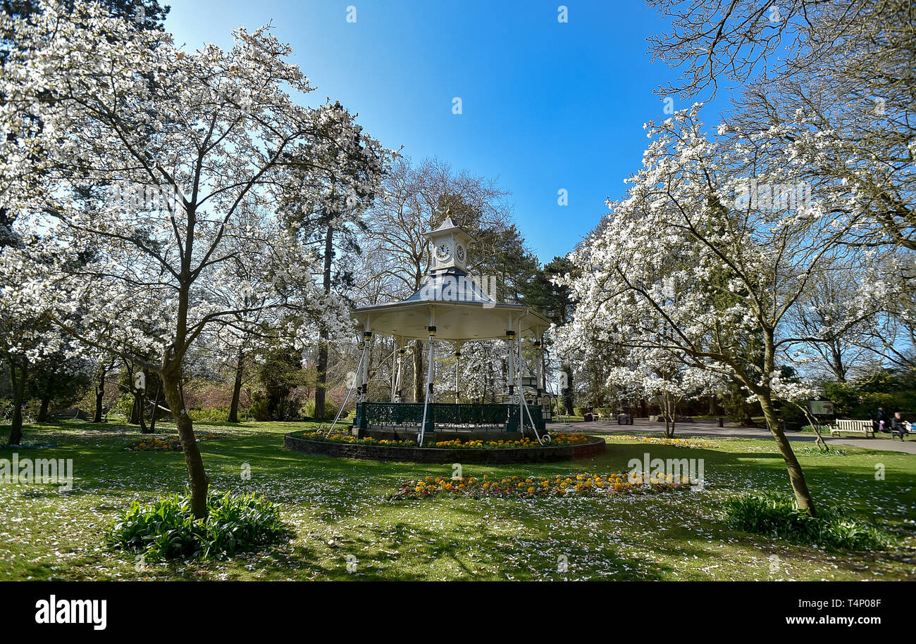 Bandstand in the Swindon Town Gardens surrounded by Magnolia trees in the Spring sunshine - Stock Image