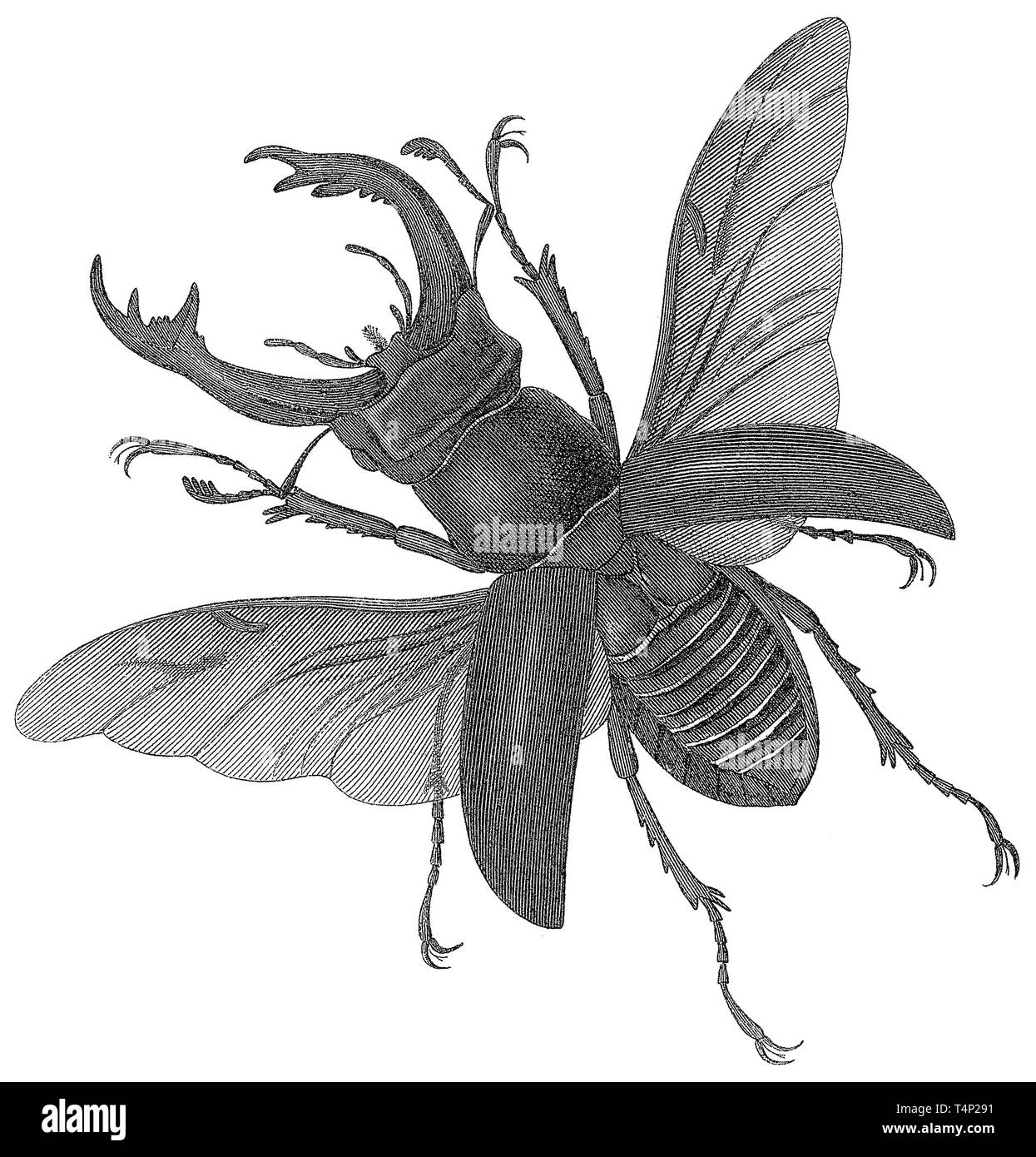 1857 engraving of a stag beetle (Lucanus cervus). Engraved by Joseph Wilson Lowry (1803-1879). - Stock Image