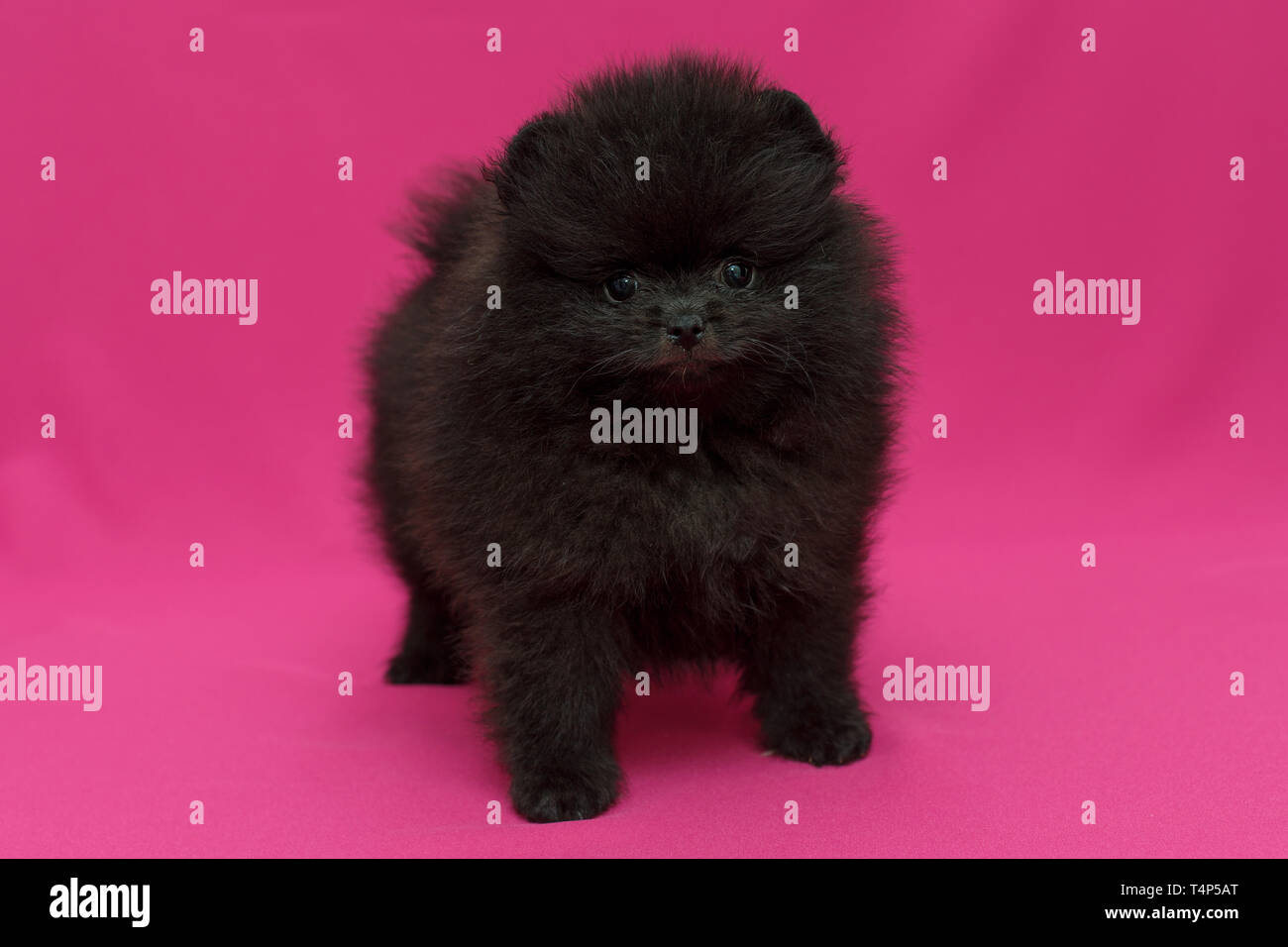 Small Black Pomeranian Puppy On Red Background Stock Photo Alamy