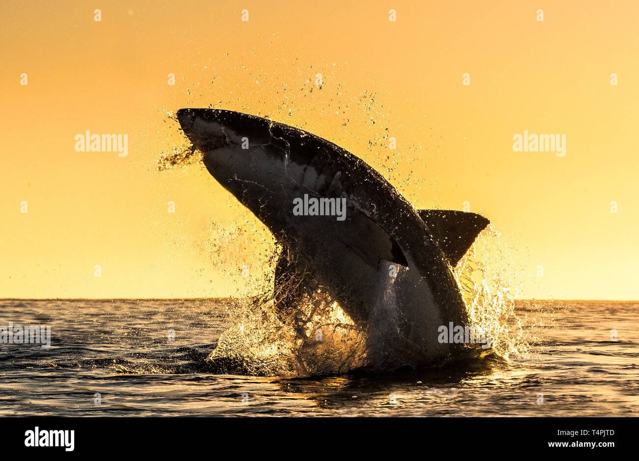 Silhouette of jumping Great White Shark  Red sky of sunrise