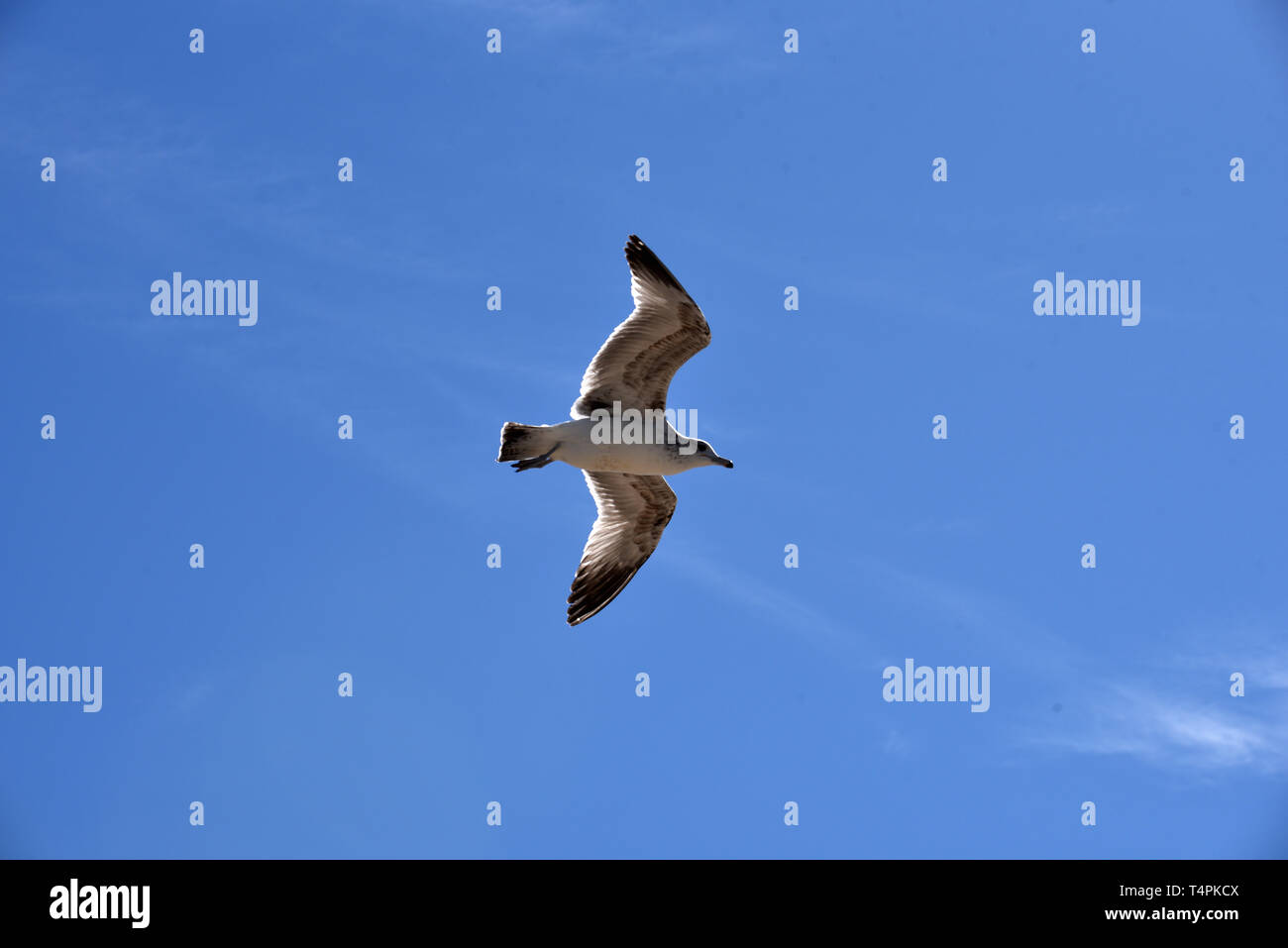 Unique photo of a seagull holding a stationary postion in a strong headwind - Stock Image