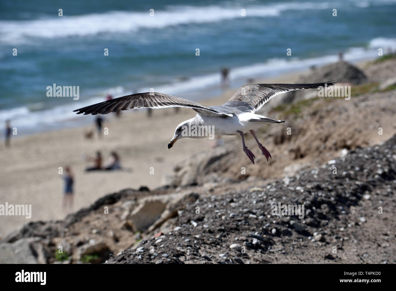 A seagull as it takes off from the shore in flight - Stock Image