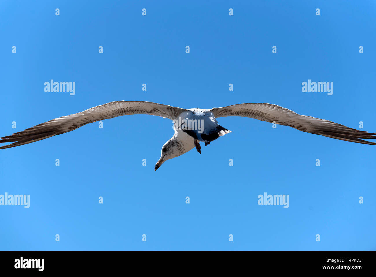 An extreme closeup of a seagull in flight - Stock Image