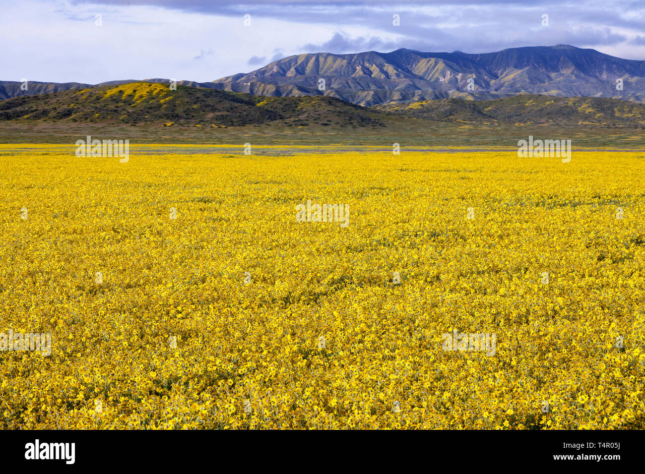 Goldfields at bloom in the valley below the Caliente Range on the Carrizo Plain in California. - Stock Image