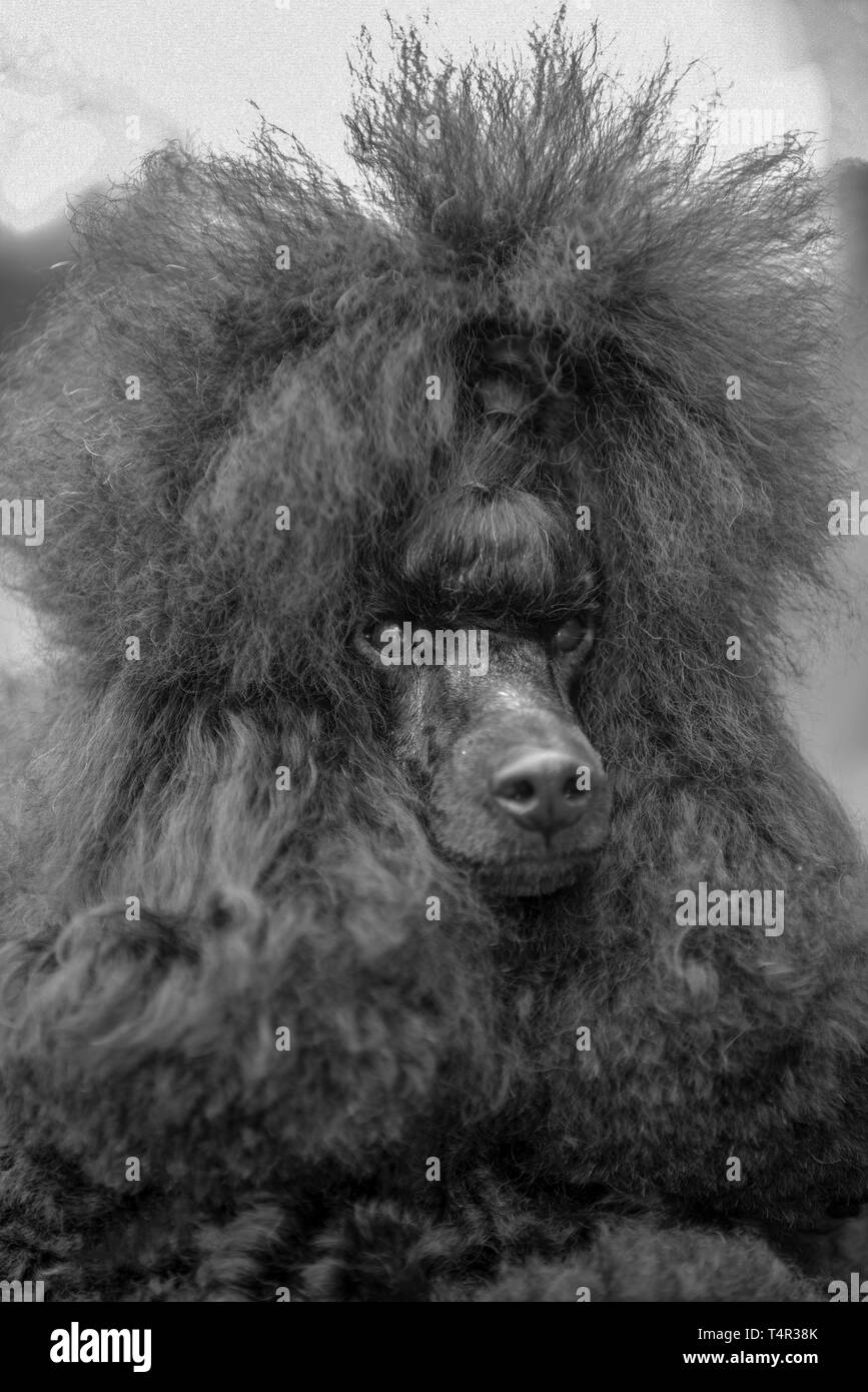 Dog show champion Israel, closeup portrait of a Brown miniature Poodle presenting itself at a dog show. Property Release Available - Stock Image