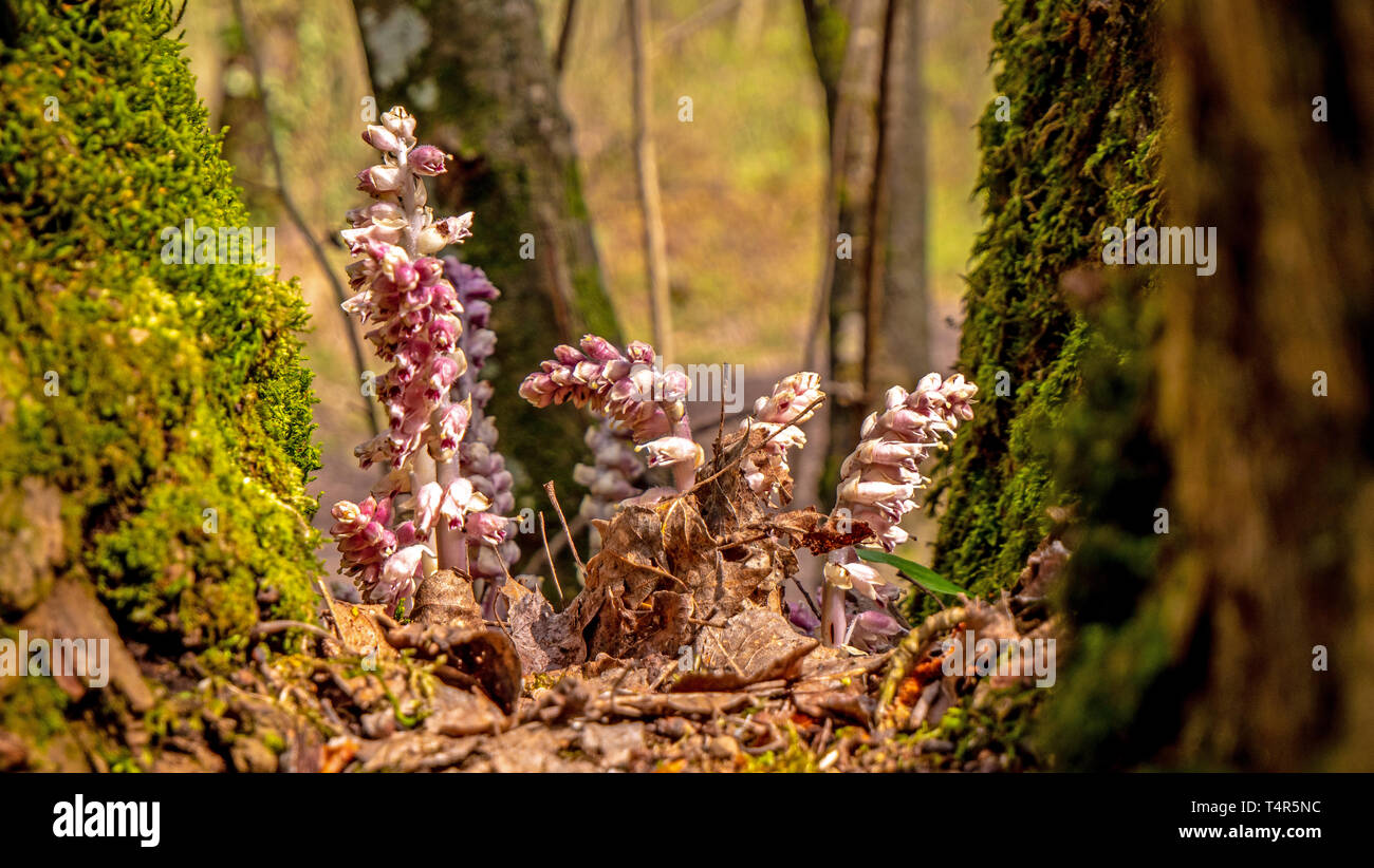 A fungus type flower grows in a tree well in between branches, Stock Photo
