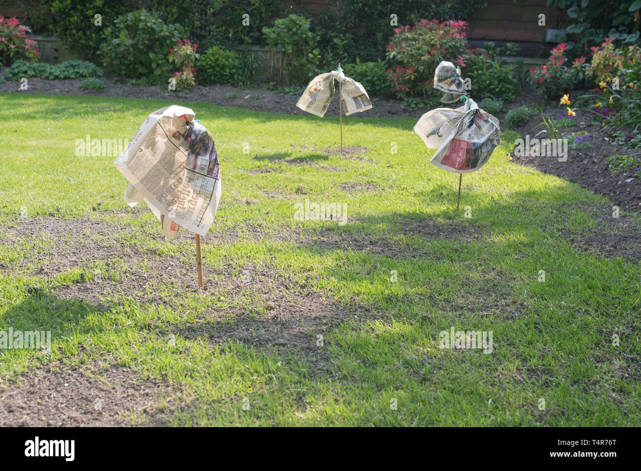 bird scarers made out of newspaper on repaired and newly seeded garden lawn - uk - Stock Image