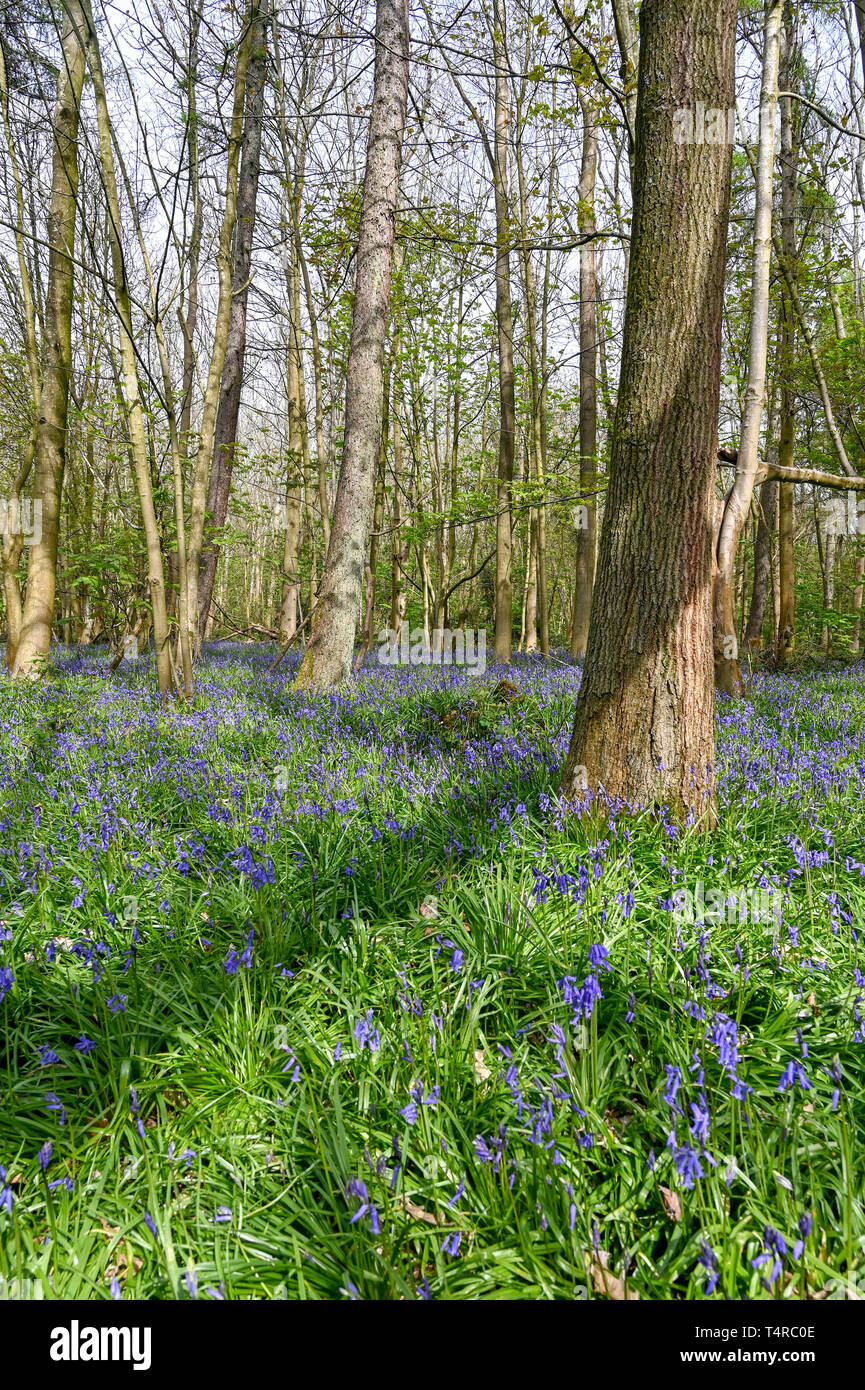 Brighton, UK. 18th Apr, 2019. A carpet of bluebells out in warm sunshine at Stanmer Park in Brighton as the weather is forecast to be warm and sunny over the Easter weekend with temperatures expected to reach over twenty degrees in some parts of the South East Credit: Simon Dack/Alamy Live News Stock Photo