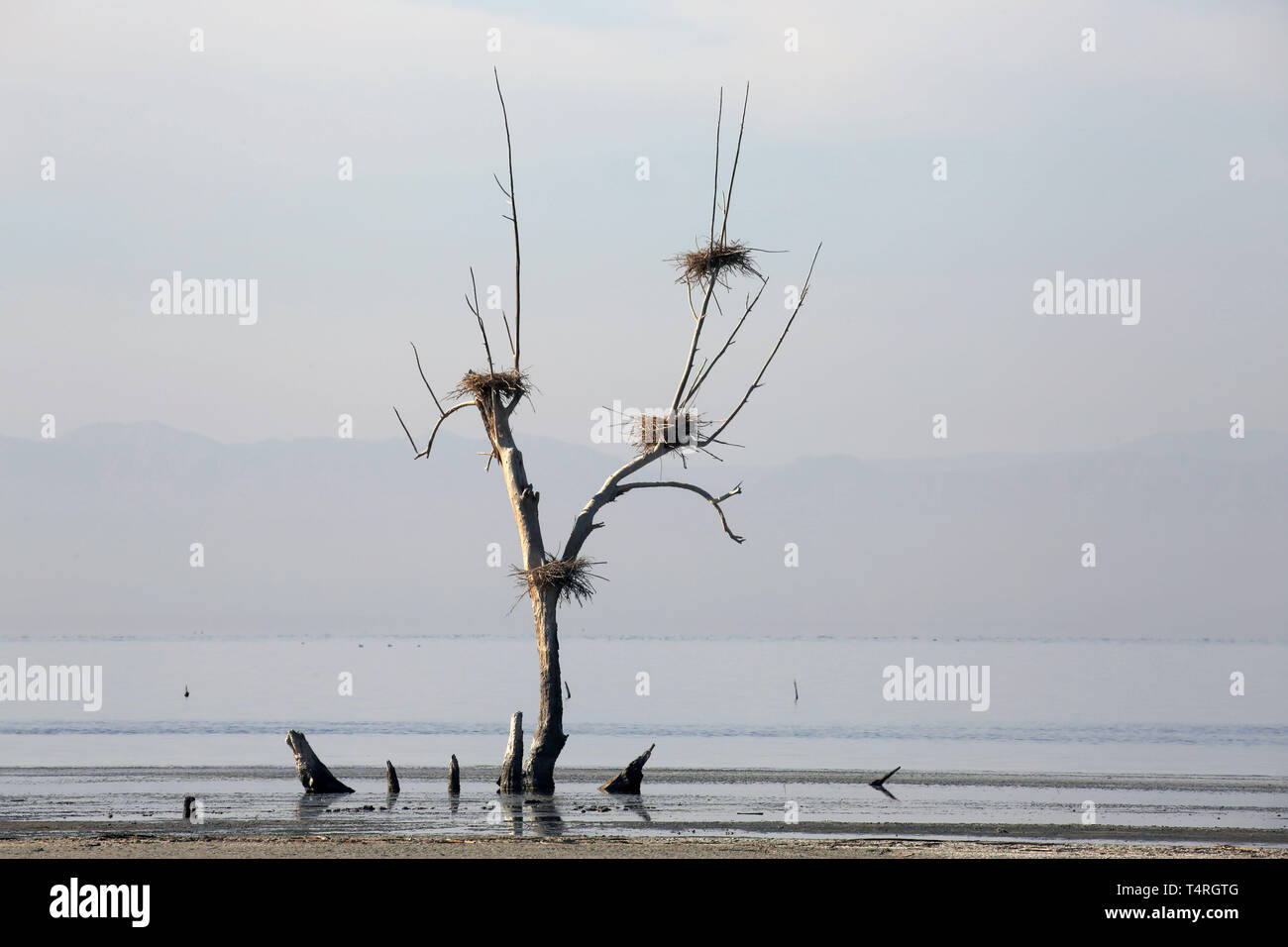 Bombay Beach, California, USA. 10th Dec, 2016. Mudflats and dead tress with nests on the shore of the Salton Sea. The Salton Sea is a shallow, saline, endorheic rift lake located directly on the San Andreas Fault, predominantly in Southern California's Imperial and Coachella Valleys. The deepest point of the sea is 5 ft (1.5 m) higher than the lowest point of Death Valley. The most recent inflow of water from the now heavily controlled Colorado River was accidentally created by the engineers of the California Development Company in 1905. The resulting outflow overwhelmed the engineered canal, - Stock Image
