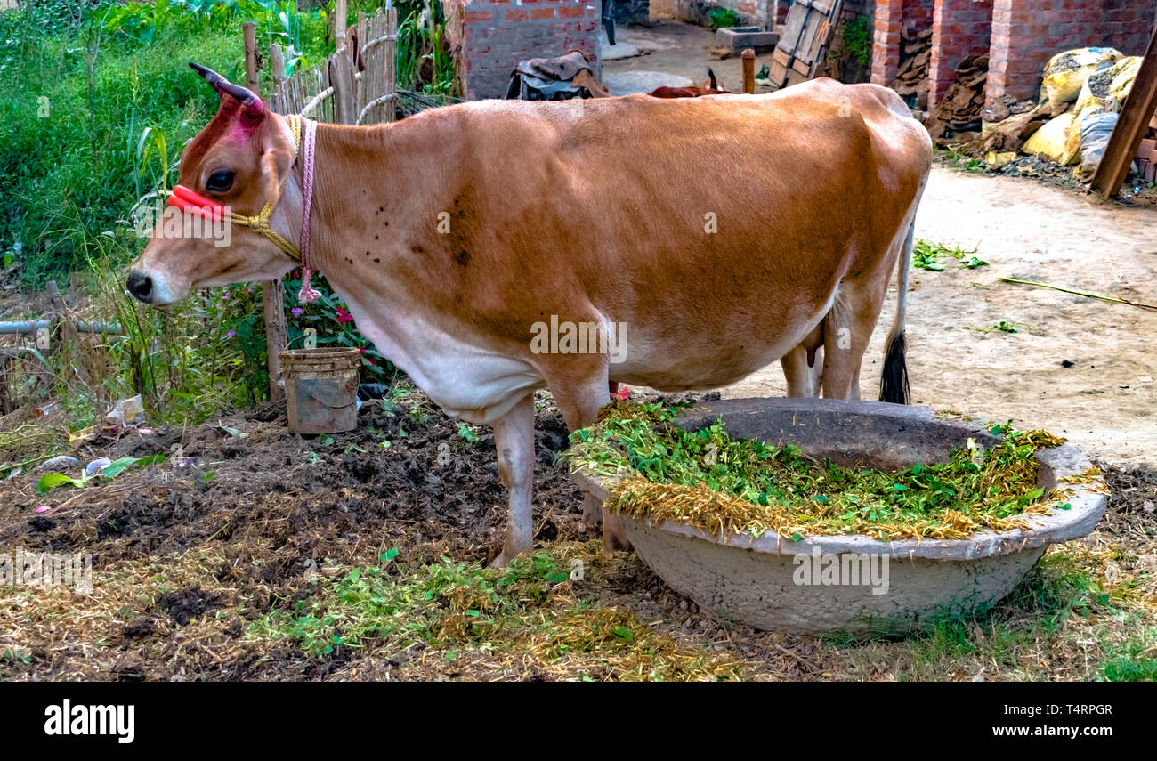 Beautiful Indian Breed Cow, brown in color, domesticated for milking purpose, is ruminating in peace after eating fodder from the Cow Trough. - Stock Image