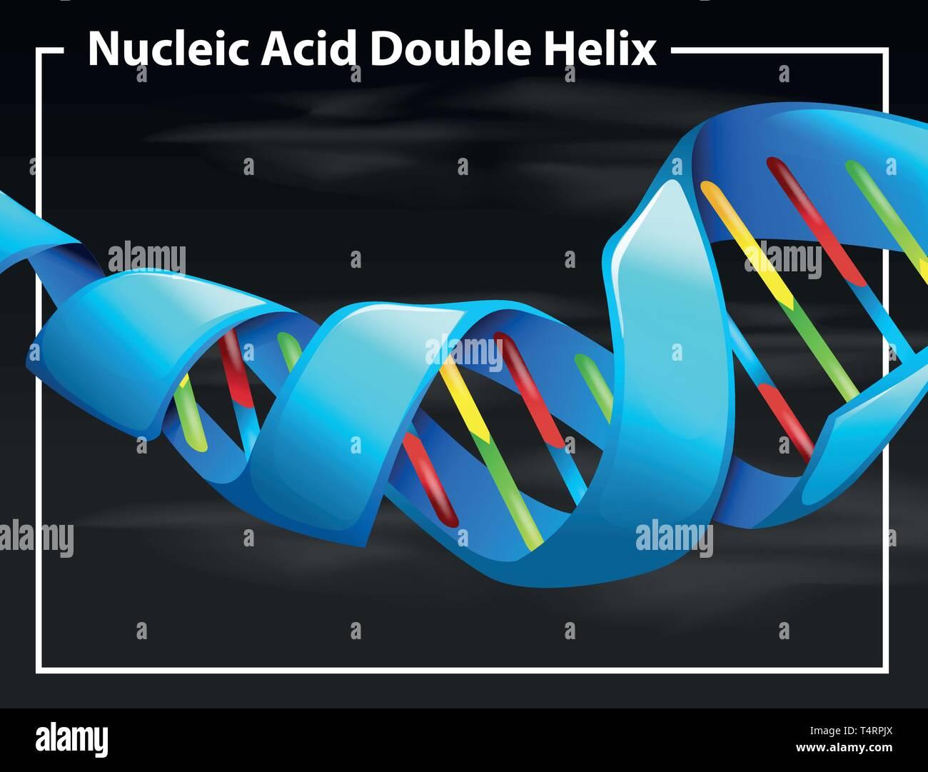 Nucleic acid double helix illustration - Stock Image