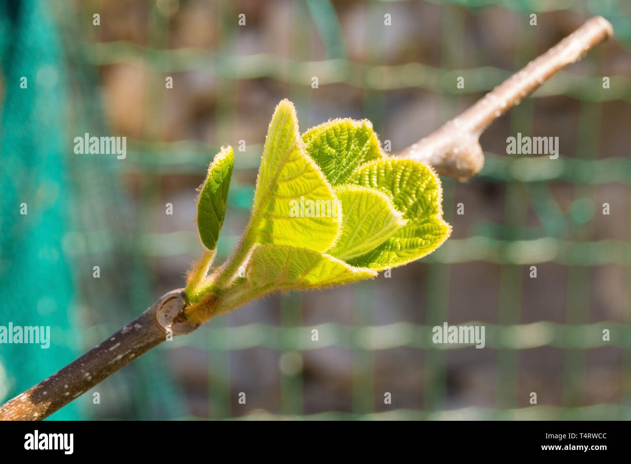 Young spring leaves on a kiwi plant frowing in a north east Italian garden. Also called Kiwifruit and Chinese gooseberry - Stock Image