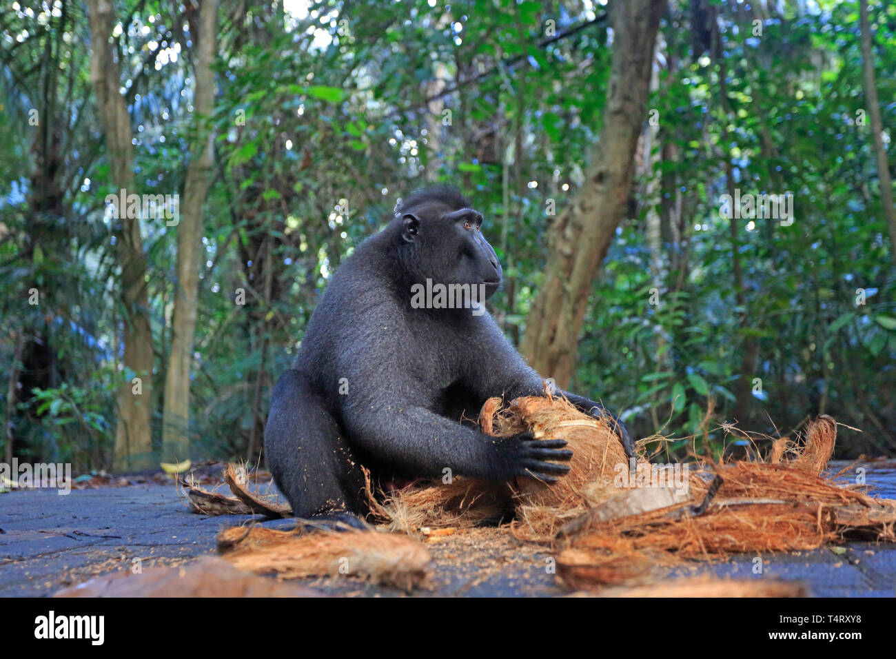 Crested Black Macaque opening a coconut in Sulawesi Indonesia - Stock Image
