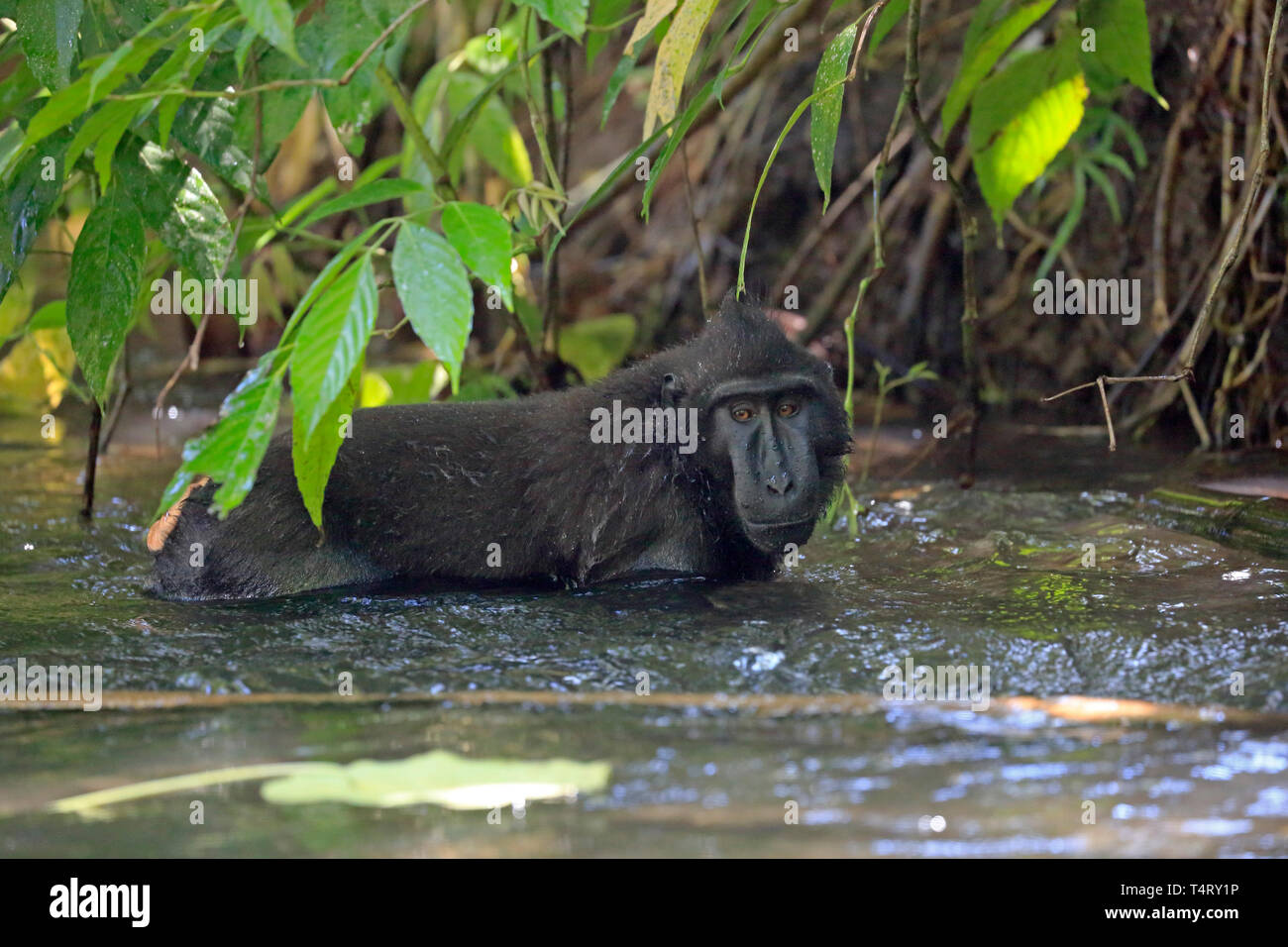 Crested Black Macaque in a river in Sulawesi Indonesia - Stock Image