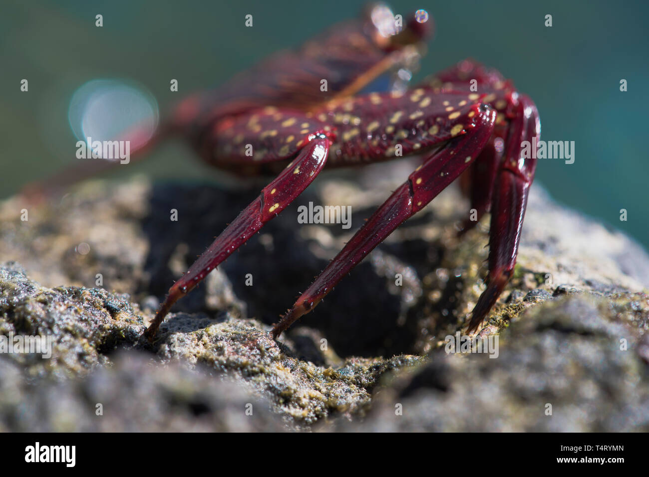Sally Lightfoot Crab Legs - Stock Image