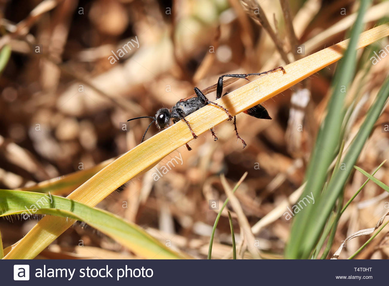 Close up of a baby wasp resting on a piece of yellow grass. - Stock Image