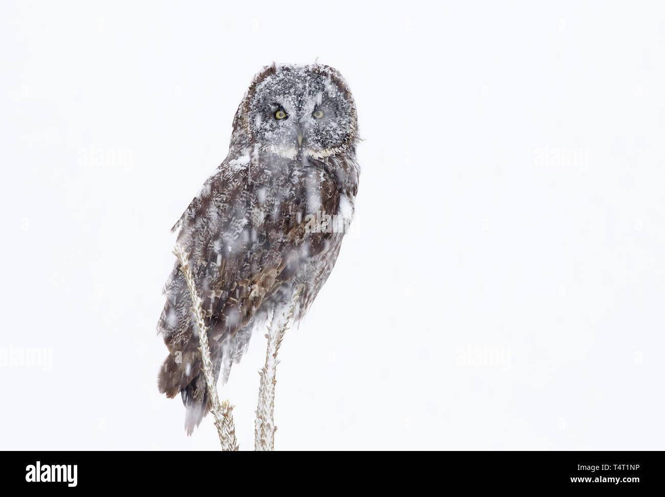 Great grey owl perched on a branch in a Canadian winter snowstorm - Stock Image