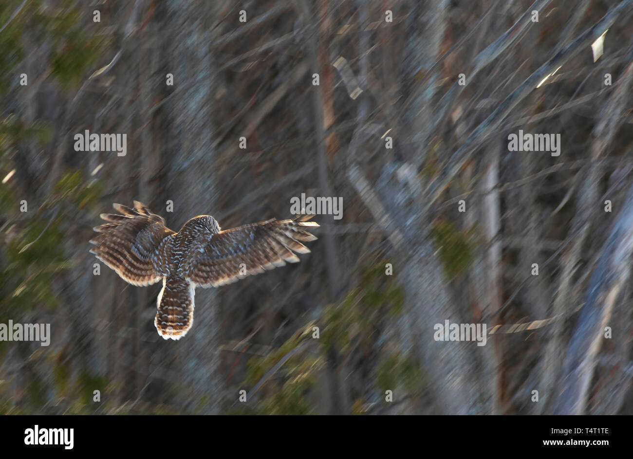 A barred owl taking off to another tree hunting for voles in a Canadian winter Stock Photo