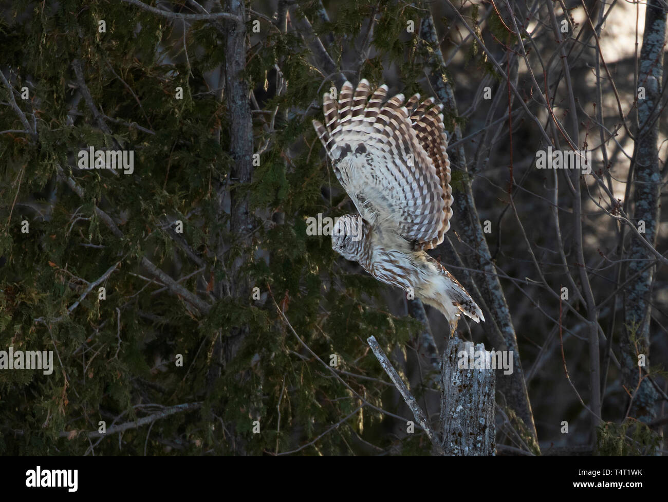 A barred owl taking off to another tree hunting for voles in a Canadian winter - Stock Image
