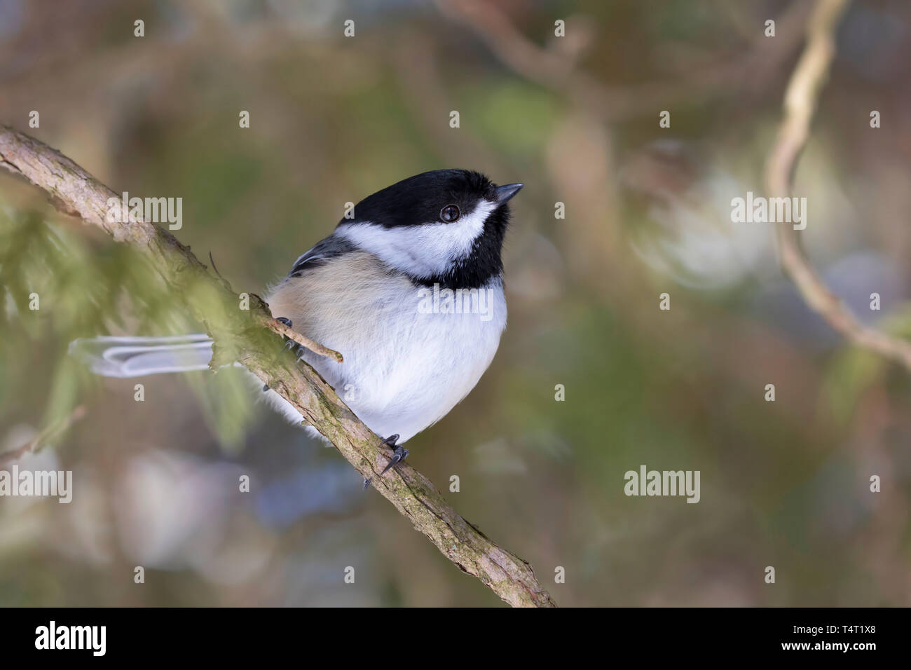 Black-capped Chickadee isolated on white background perched on branch in winter Stock Photo
