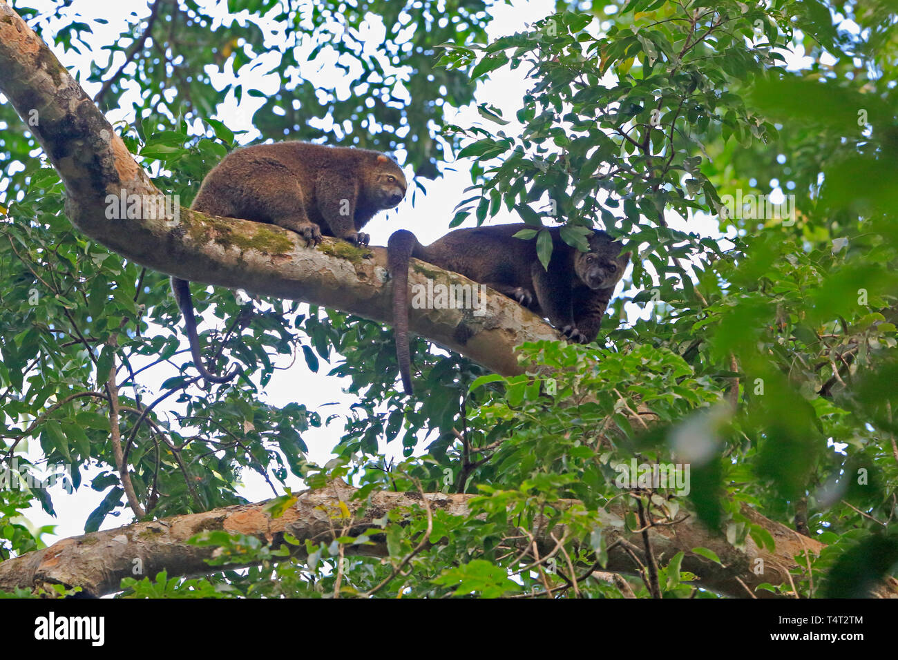 Two Bear Cuscuses in a tree in Sulawesi Indonesia - Stock Image