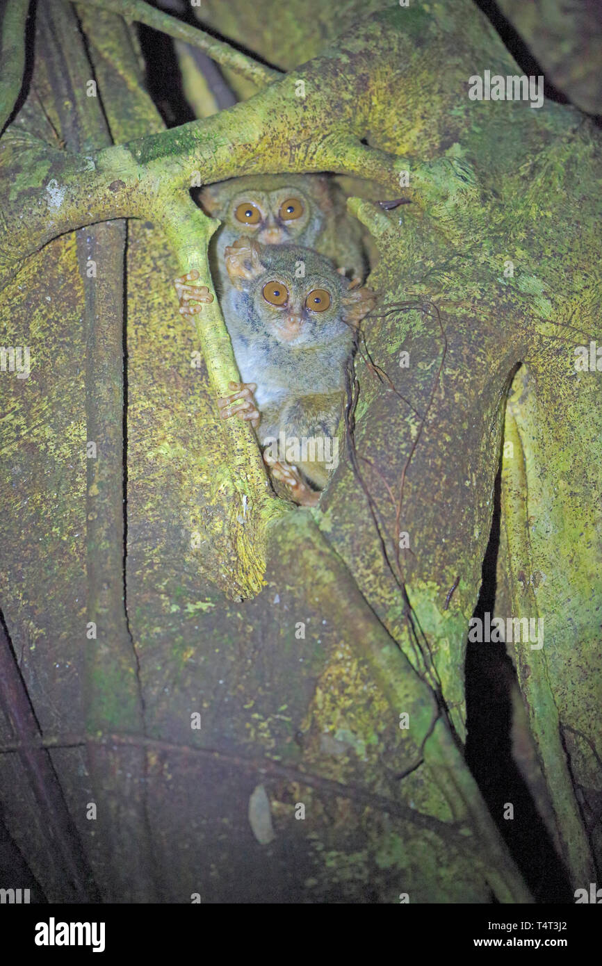 Two Spectral Tarsier in a tree in Sulawesi Indonesia - Stock Image