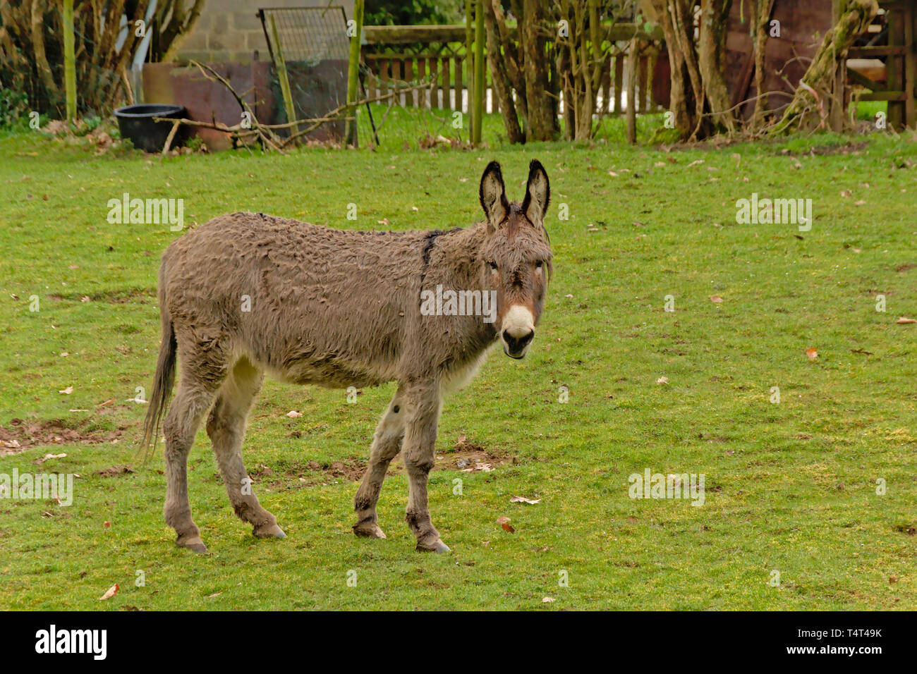 Cute grey donkey in a meadow in the Wallonian countryside, looking at the spectator - Equus africanus asinus Stock Photo