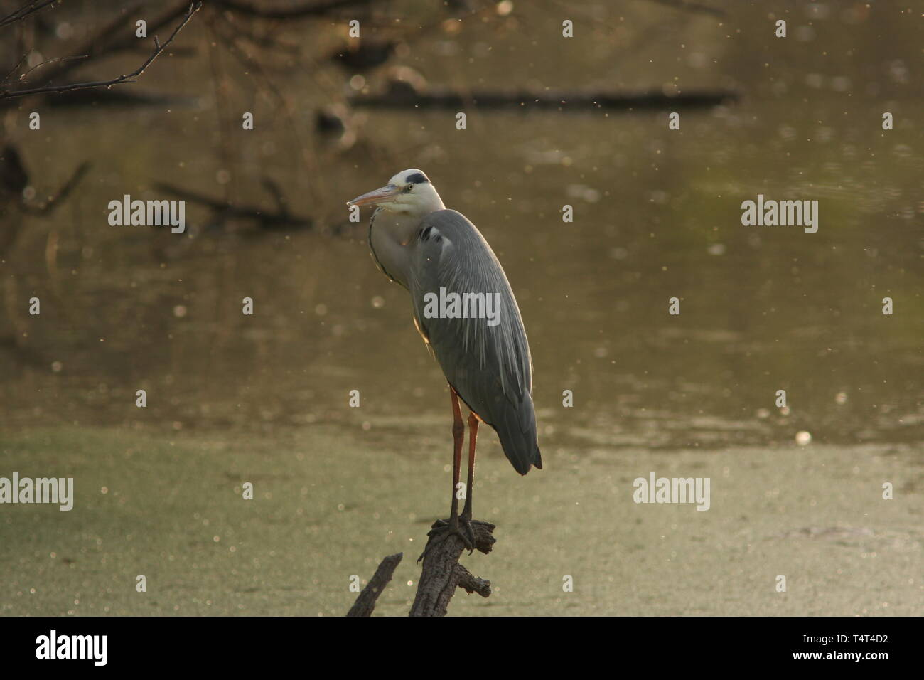 Grey heron, Keoladeo National Park, Rajasthan - Stock Image