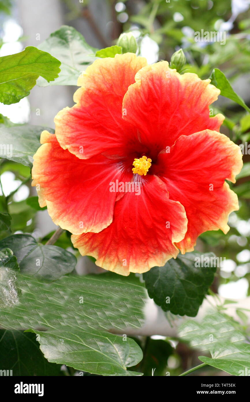 A beautiful red flowering hibiscus flower Stock Photo