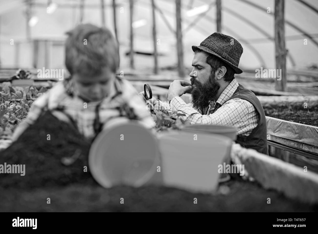 Gardener looking at his harvest through magnifying glass. Side view bearded man in blue vest, yellow shirt and fedora hat working in green house. Smal - Stock Image