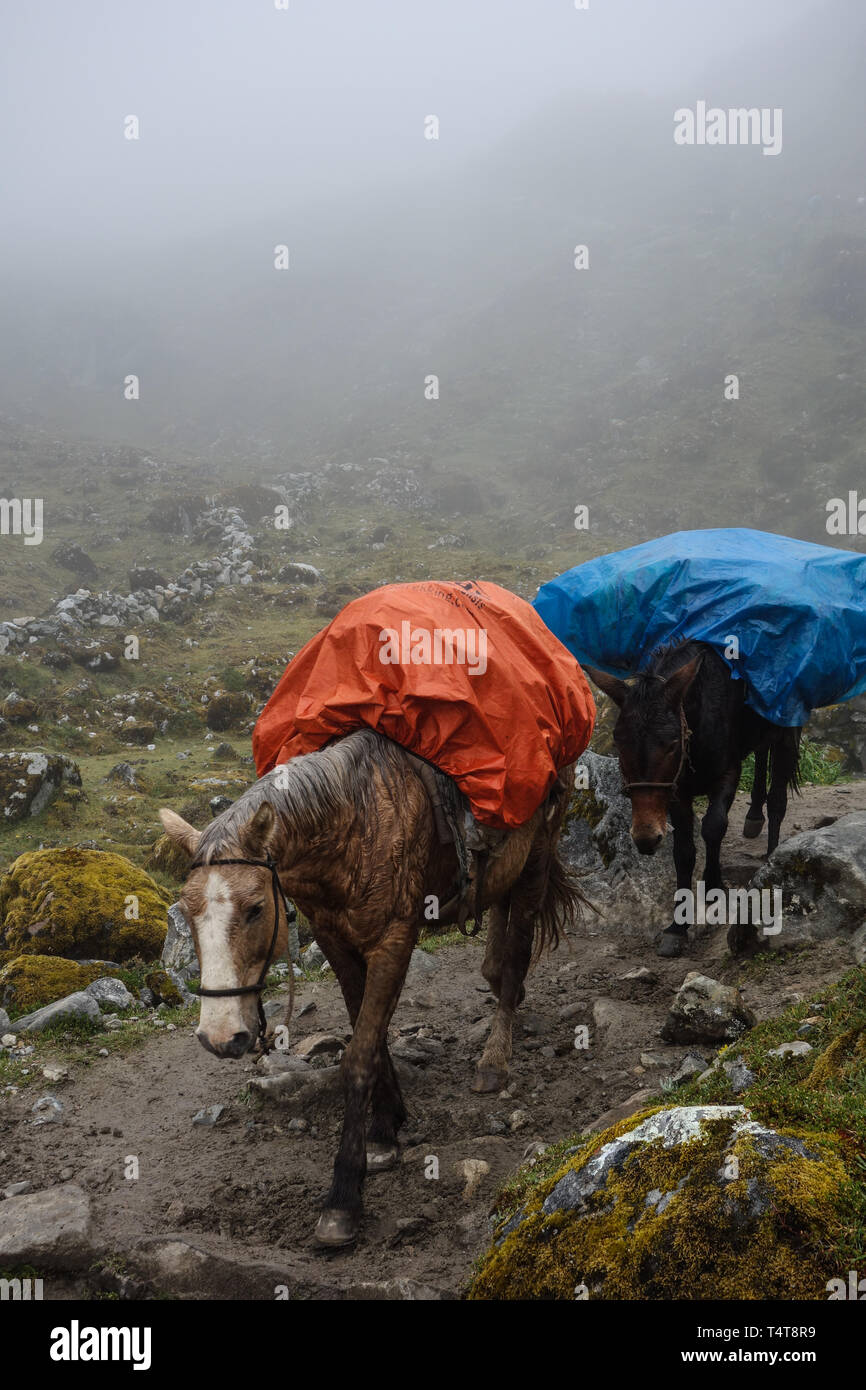 Two wet and exhausted horses carrying some luggage of tourists on the Salkantay Trek to Machu Pichu, Peru - Stock Image