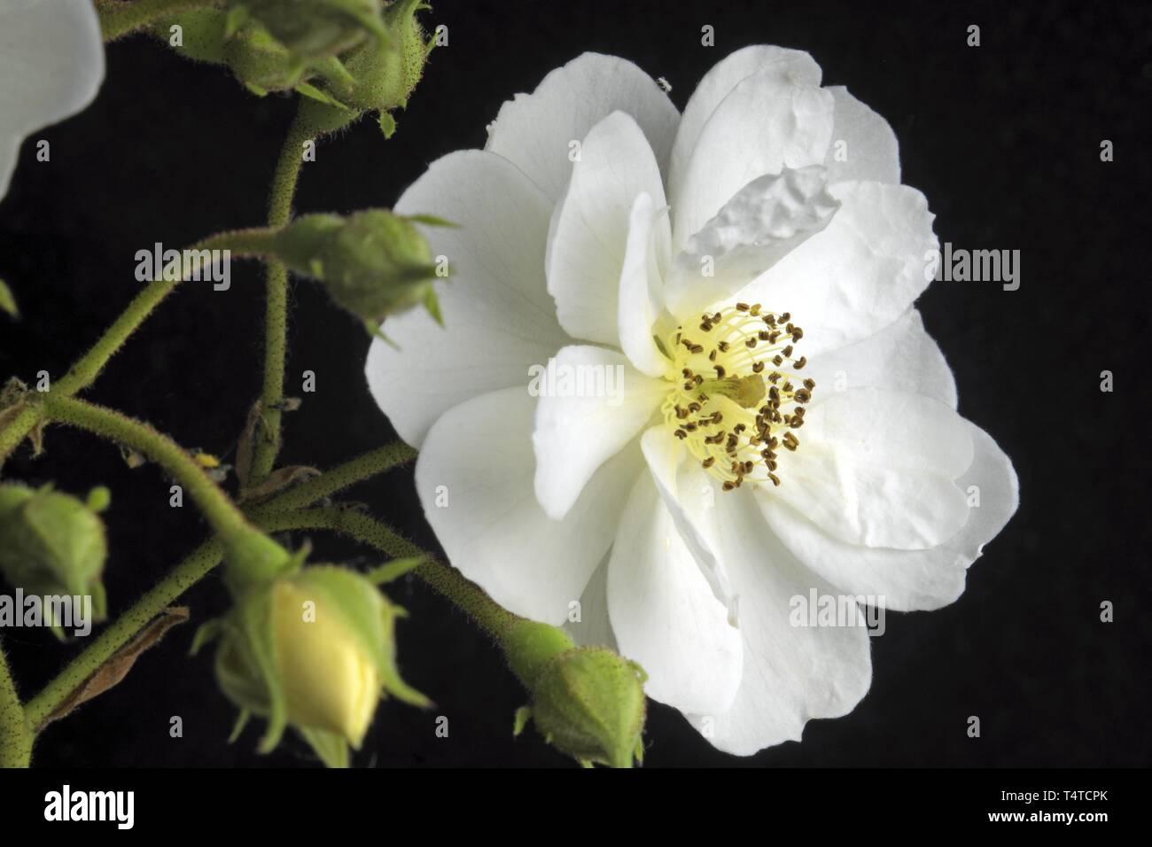 Rambler Rose (Rosa) Rambling Rector Stock Photo