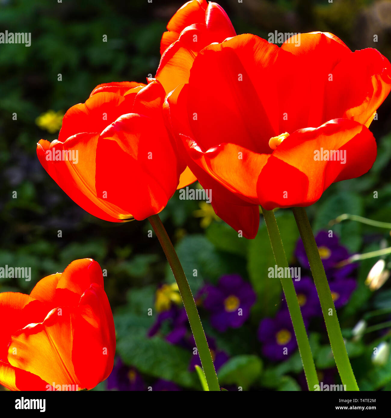 Closeup of Bright Red Tulip Flowers Kingsblood in a Cheshire Garden England United Kingdom UK Stock Photo