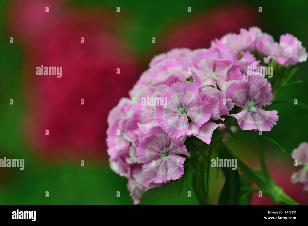 Close up of pink sweet William (dianthus barbatus) flowers - Stock Image