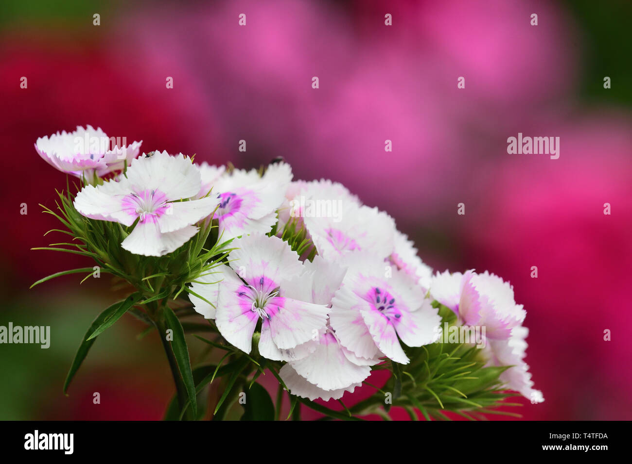 Close up of white sweet William (dianthus barbatus) flowers wth a pink background - Stock Image