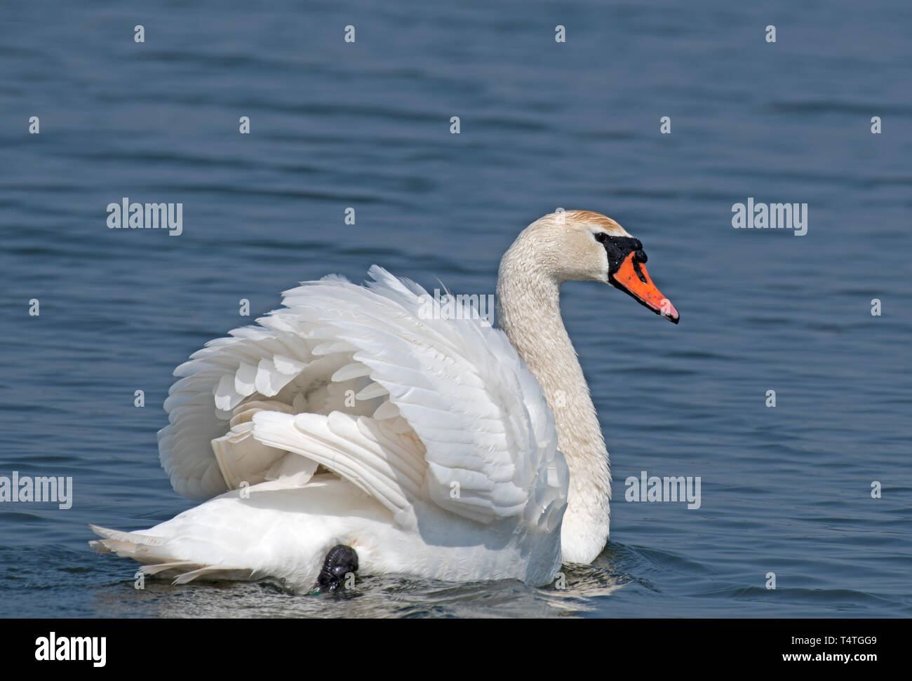 Mute, Swan, Cygnus,olor, At, Seaforth, Nature, Reserve, Liverpool Stock Photo