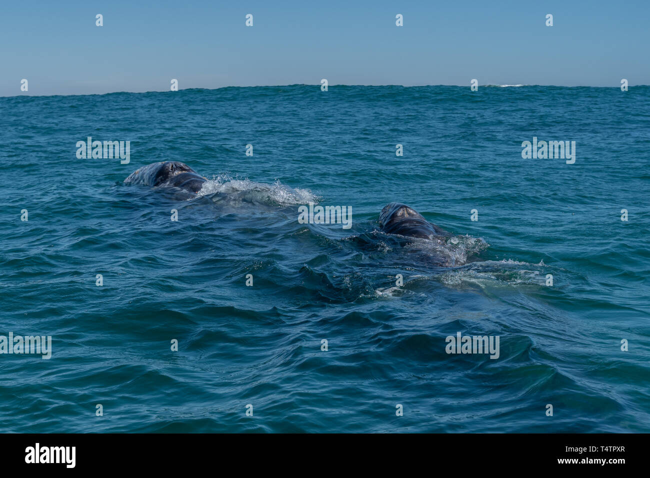 Gray whale (Eschrichtius robustus) mother and calf on the surface off the coast of Baja California, Mexico. Stock Photo