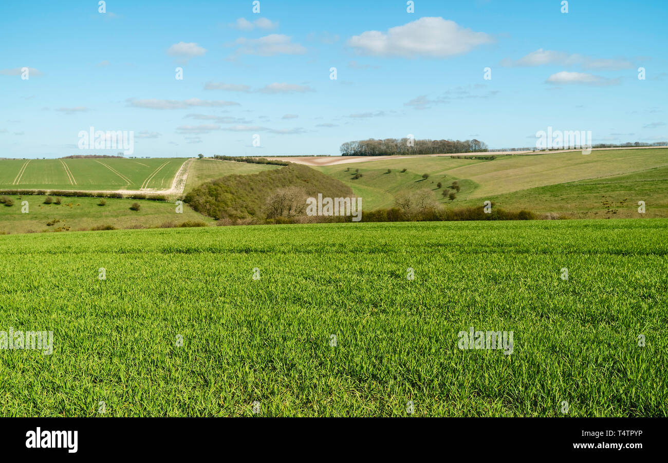 Sledmere, Yorkshire, UK. Field of wheat bordered by trees under a cloudy sky on a bright spring morning in the Wolds, Sledmere, Yorkshire, UK. - Stock Image