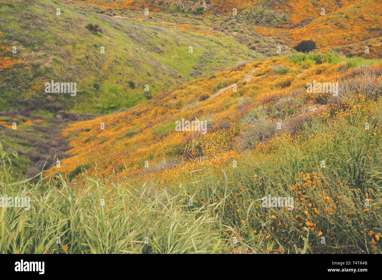 Landscape in Walker Canyon during the superbloom in California. The poppies covering the mountain valleys and ridges - Stock Image