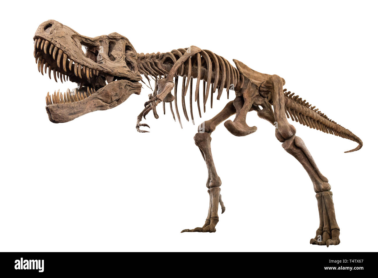 Tyrannosaurus Rex skeleton on isolated background . Embedded clipping paths . - Stock Image