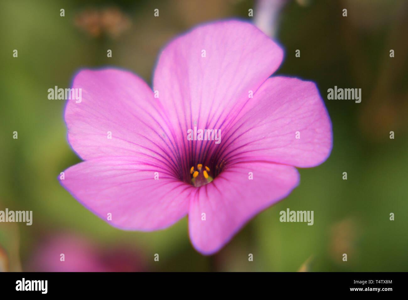 The petunia (Petunia) are a genus of the family SolanaceaeDie Petunien (Petunia) sind eine Gattung der Familie der Nachtschattengewächse Stock Photo