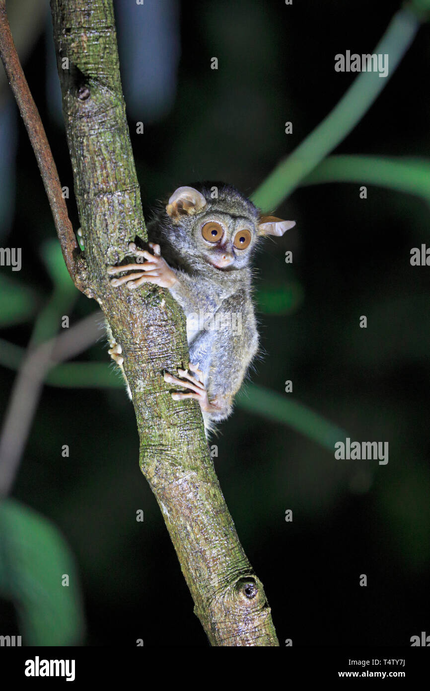 Spectral Tarsier in a tree in Sulawesi Indonesia - Stock Image