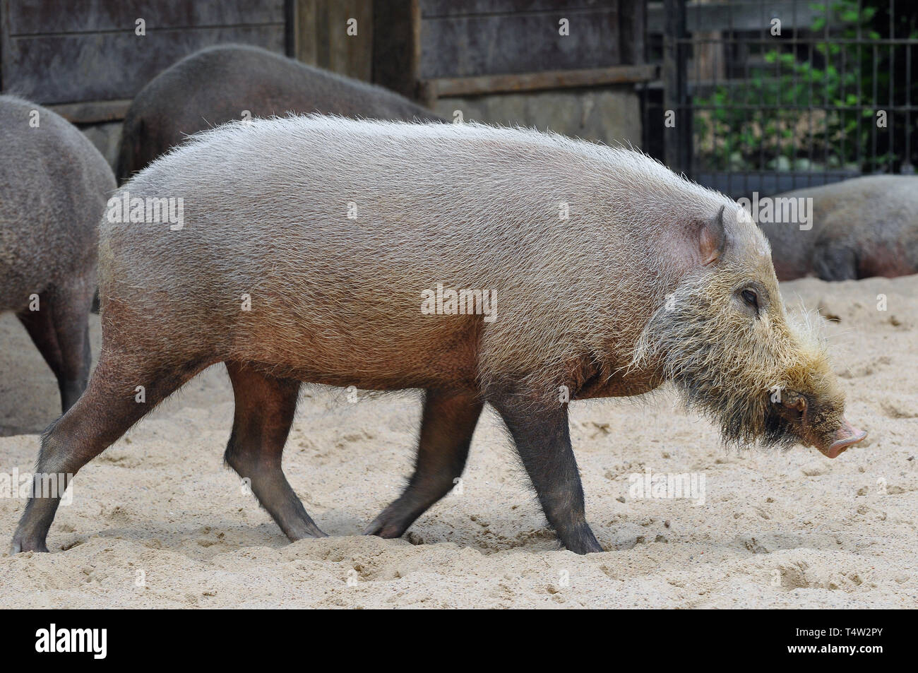Bornean bearded pig, Bartschwein, Sus barbatus, szakállas disznó Stock Photo