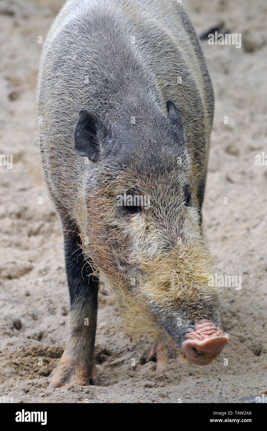 Bornean bearded pig, Bartschwein, Sus barbatus, szakállas disznó - Stock Image