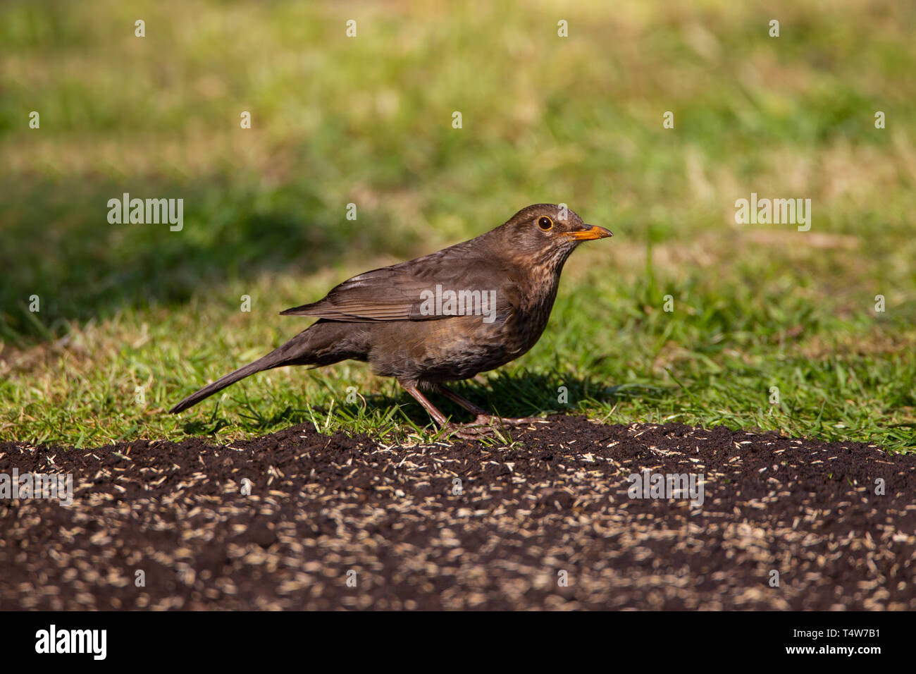 Female Blackbird Turdus merula in profile feeding opportunistically on grass seed from an area of lawn that has been re-seeded - Stock Image