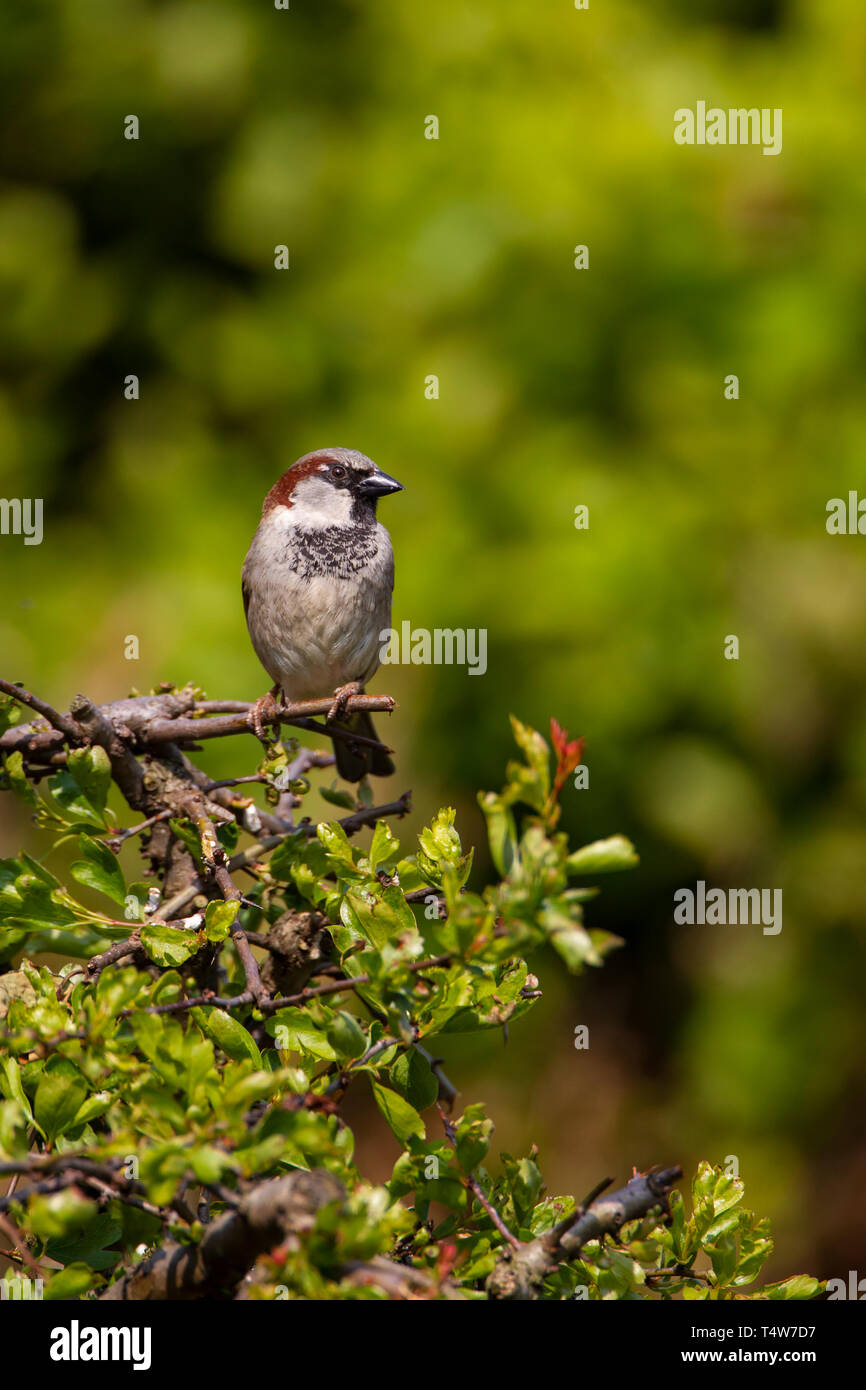 Male House Sparrow Passer Domesticus perching on a hawthorn bush with green foliage in the background - Stock Image
